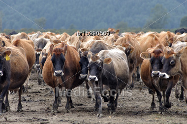Jersey Cows Coming In From Pasture, West Coast, New Zealand Stock Photo