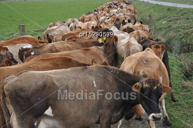 Jersey Cows Heading Down Race To Dairy, West Coast, New Zealand Stock Photo