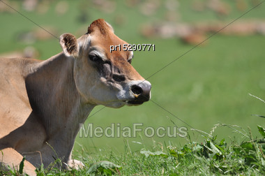 Jersey Cows On Humped And Hollowed Paddock, Westland, New Zealand Stock Photo