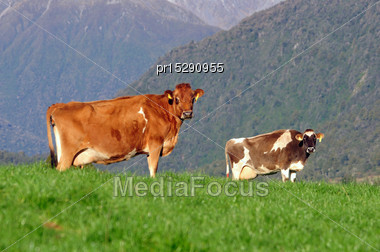 Jersey Cows On The Lookout, Westland, New Zealand Stock Photo
