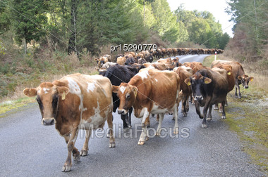 Jersey Cows On The Main Road, Walking Between Farms, Westland, New Zealand Stock Photo