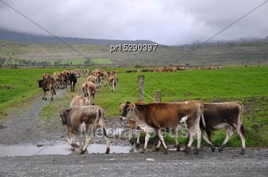 Jersey Heifers Turn Into Race Towards Pasture, Westland, New Zealand Stock Photo