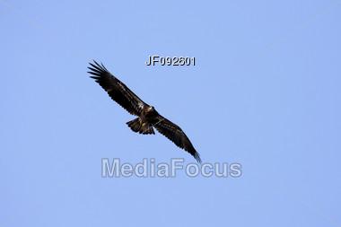 A Juvenile American Bald Eagle Soaring High Above Stock Photo