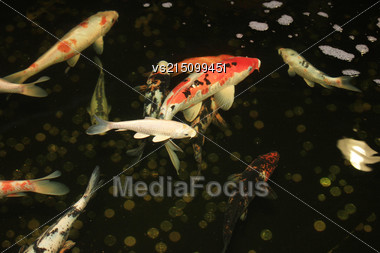 Koi Carps Fish Japanese Swimming In Aquarium. Red Decorative Fishes And Coins In Holding Tank. Symbols Of Good Luck And Prosperity In Japan Stock Photo