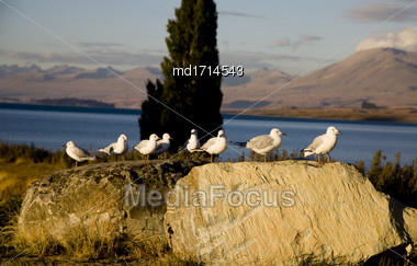 Lake Tekapo New Zealand Seagulls On A Rock Stock Photo
