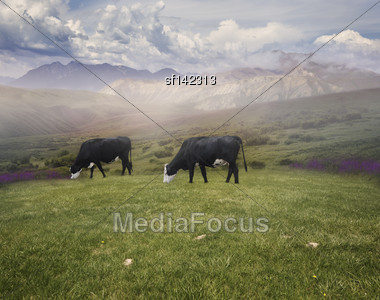 Landscape With Grazing Cows In The Early Morning Stock Photo