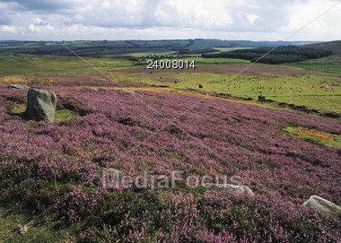 Landscape with Blooming Heather Stock Photo