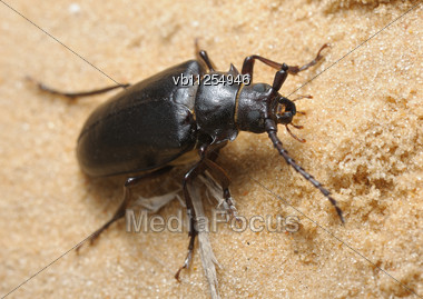 Large Brown Longhorn Beetle On The Sand In Israel Stock Photo