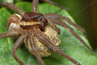 Large Spider Dolomedes Fimbriatus With A Cocoon Stock Photo