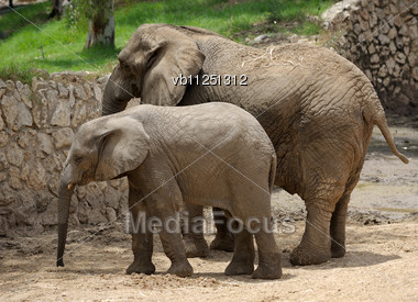 Largest Land Animal In The Zoo Stock Photo