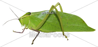 Leaf Bug Isolated On White Background Stock Photo
