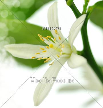 Lemon Flower On The White Background Stock Photo