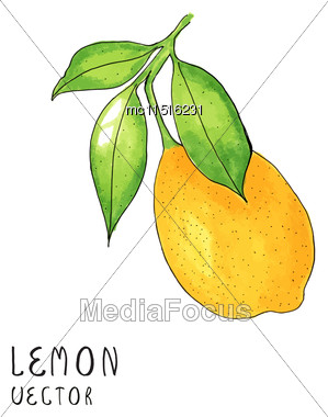 Lemon Tree Branch, Watercolor Painting On White Background, Vector Illustration Stock Photo
