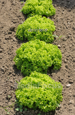 Lettuce Lollo Bionda, Bright Green Plants In The Garden Stock Photo