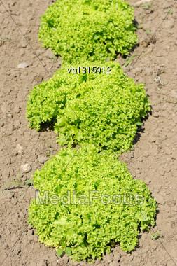 Lettuce Lollo Bionda, Bright Green Plants In The Garden Stock Photo