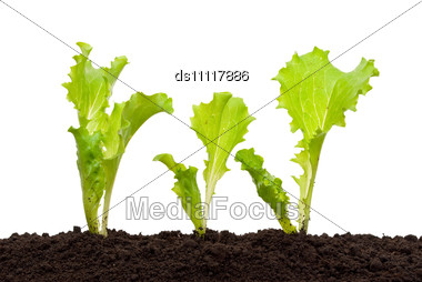 Lettuce Seedling In Soil Stock Photo