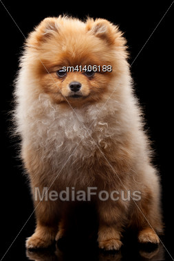 Light Brown Shpitz Puppy Lying Over Black Background And Looking At Camera Stock Photo