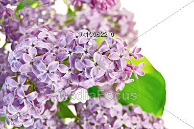 Lilac Flowers With Green Leaves Stock Photo
