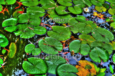 Lily Pads In A Calm Reflection Pond Stock Photo
