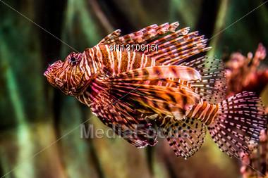 Lionfish In A Dubai Aquarium. Pterois Mombasae. Petrois Volitans. Lionfish. Turkeyfish. Scorpionfish. Firefish Stock Photo