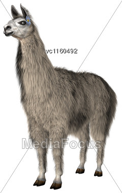 Llama Or Lama Glama, A Domesticated South American Camelid, Isolated On White Stock Photo