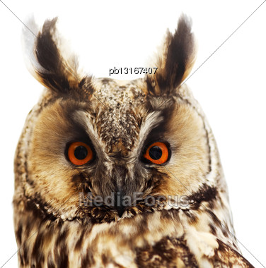 Long-eared Owl Portrait, Isolated On White Stock Photo