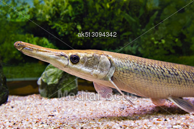 Long Nose Fish In Aquarium Stock Photo