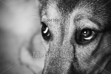 Look Of The Dog. Vintage Styled Monochrome Grainy Shot Stock Photo