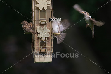 Lots Of Activity From House Wrens At The Bird Feeder Stock Photo