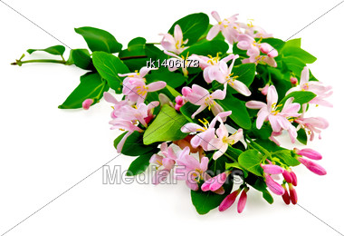 Lush Honeysuckle Branches With Pink Flowers And Green Leaves Isolated On White Background Stock Photo