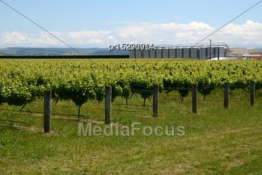 Lush Summer Growth On A Vineyard Near Nelson, New Zealand Stock Photo