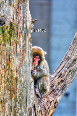 Macaque (Snow) Monkey's Relaxing In Their Environment In High Dynamic Range Hdr Stock Photo