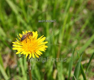 Macro Bee On Yellow Dandelion Flower Stock Photo