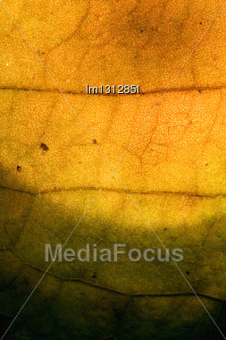 Macro Close Up Abstract Of A Green Yellow Red Leaf And His Veins In The Light Background Stock Photo