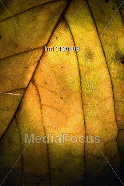 Macro Close Up Abstract Of A Green Yellow Leaf And His Veins In The Light Background Stock Photo