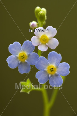 Macro Close Up Of A Blue Yellow Anagallis Foemina Background Stock Photo