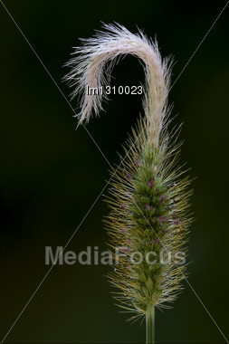 Macro Close Up Of A Green Ear And Abstract Background Stock Photo