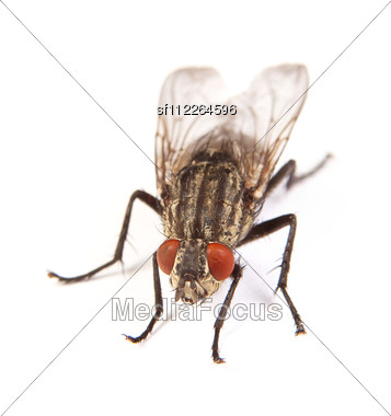 Macro Shot Of A Housefly Fly Stock Photo