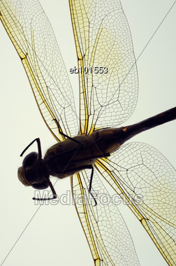 Macro Shot Of Underside Of Dead Dragonfly Stock Photo