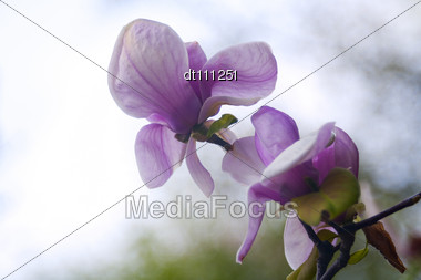 Magnolia Flowers Over Blurred Abstract Background. Beautiful Bokeh Stock Photo