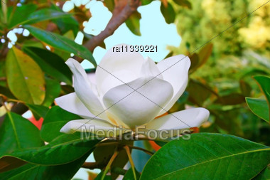 Magnolia White Flower On Tree Stock Photo