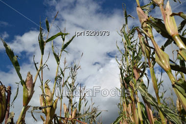Maize Crop Damaged By Cyclonic Winds A Day Before Harvest, Westland, New Zealand Stock Photo