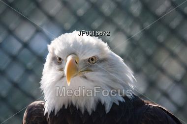 Majestic Looking Bald Eagle Stock Photo