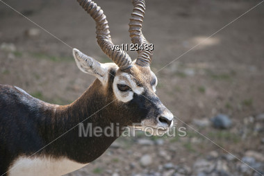 Male Blackbuck, (Antilope Cervicapra), Antelope Species Native To The Indian Subcontinent. Stock Photo