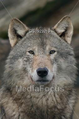 Male European Gray Wolf Stock Photo