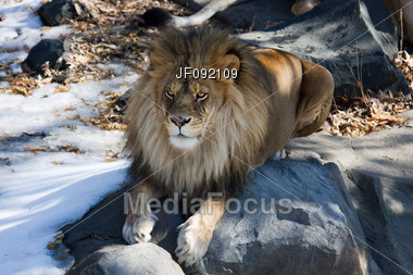 Male Lion Resting On A Rock, In The Shade Stock Photo