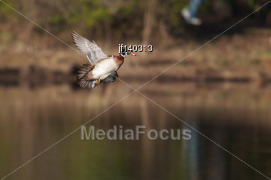Male Wood Duck In Flight Over Lake Stock Photo