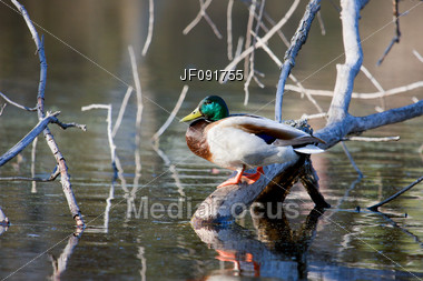 Mallard on a Branch taking a Break Stock Photo