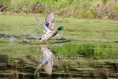 Mallard Picking Up Speed To Take Off Flying Stock Photo