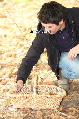 Man Gathering Chestnuts Stock Photo